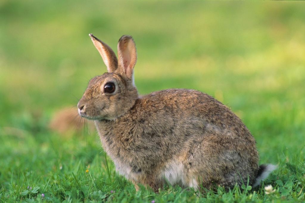 Les lapins d'Australie et le pouvoir de duplication